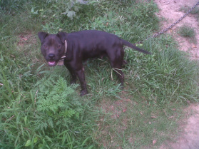 FEMALES - H-TOWN KENNELS- HOME OF ELI/CHINAMAN CROSSES