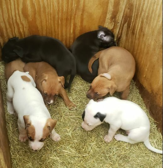 BREEDINGS/FOR SALE - H-TOWN KENNELS- HOME OF ELI/CHINAMAN CROSSES